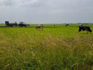 Passing cattle farms on the polders on Fietspad 90